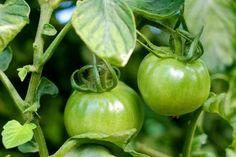Tomates de nuestro productor de confianza de frutas y verduras ecológicas: Puedes ver todas sus cestas de temporada, te las mandamos a casa en 24h por 3 €
