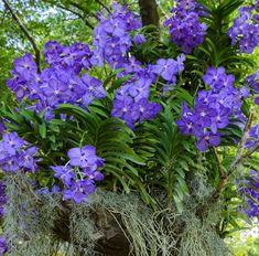 Orquídea Vanda azul (Vanda coerulea), ou orquídea do Outono Tranças da Senhora. Fotografia: Boosom no Getty Images.