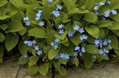 Bilde av VÅRKJÆRMINNE Blue Flowers, Planters, Gardening, Google, Garden Plants, Photo Illustration, Lawn And Garden, Plant, Window Boxes