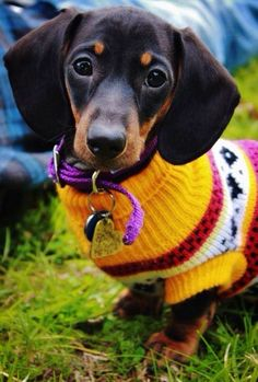 Doxie in a brightly colored sweater!