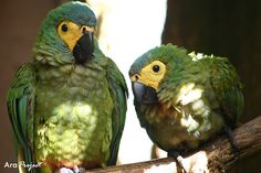 Red-bellied macaw Orthopsittaca manilata by City Parrots, via Flickr