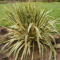 Yucca filamentosa 'Bright Edge' -