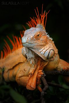 Green Iguana   by Petr Bambousek