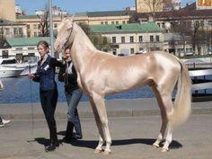 Um Cavalo Magnífico! Raça Akhal Teke,Turcomenistão