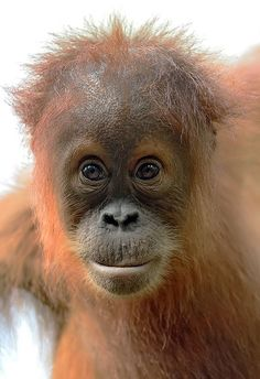 oh my gosh look at that face just adourable Primates, Zoo Animals, Animals And Pets, Cute Animals, Wild Animals, Baby Orangutan, Chimpanzee, Mountain Gorilla, Cute Monkey