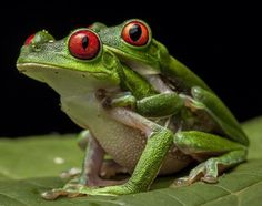 Red-eyed tree frogs mating in the Osa Peninsula of Costa Rica. Primates, Mcdonalds, National Geographic, Frog Species, Amazing Frog, Red Eyed Tree Frog, Poison Dart Frogs, Glass Frog, Gadgets