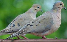 Favorite bird, Mourning Dove