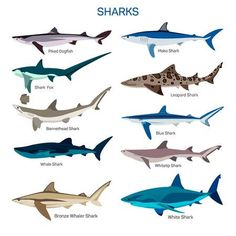 Buy Shark Set by skypicsstudio on GraphicRiver. Shark fish vector set in flat style design. Different kind of sharks species icons collection. Blue Shark, Shark Fish, Shark Painting, Leopard Shark, Species Of Sharks, Shark Tattoos, Fish Vector, Icon Collection, Shark Week