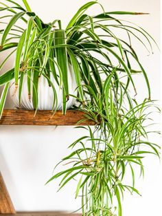 Learn About The Care Of Spider Plants Air Cleaning Plants, Air Plants, Indoor Plants, Balcony Plants, Flowering Plants, Garden Plants, Best Bathroom Plants, Kitchen Plants, Hedera Helix