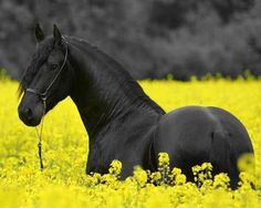 Black Beauty Horse in Yellow Flowers