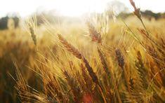 Fotos de primer planos, naturaleza, maíz de campo, espigas de maíz, trigo…