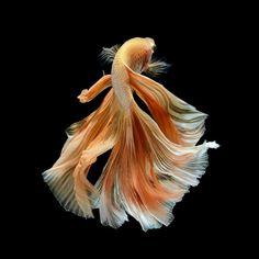 Fish koi black wuhu pinterest goldfisch zeichnen for Japanische kampffische