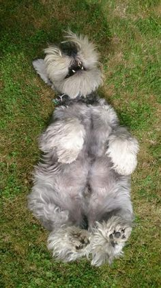 Maybe you've just adopted a Schnauzer into your family and don't know what to call them yet. If you're looking for the best name for a Schnauzer dog, you've come to the right place! Here are 30 of the best sweet names for Schnauzer dogs! Miniature Schnauzer Puppies, Schnauzer Puppy, Schnauzers, Cute Puppies, Dogs And Puppies, Cute Dogs, Doggies, Baby Animals, Cute Animals
