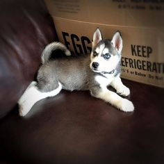 The perfect Siberian Husky puppy picture of innocence, right? Lol By Misty Marie.