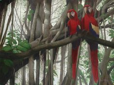 Scarlet Macaws hanging out in a ficus tree.