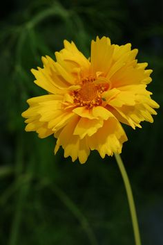 Coreopsis flower which symbolizes love at first sight.