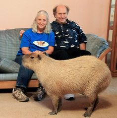 Melanie and Richard, a couple who lives in Buda, Texas, keeps a 110 lb giant capybara as a pet. The oversized guinea pig-like rodent's name is Gary. Large Animals, Animals And Pets, Funny Animals, Cute Animals, Pet Rodents, Wombat, Pet 1, Dog Cat, Pets