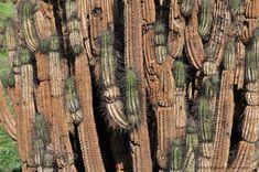 Atacama Desert Cactus photos, different species of Chilean cacti.
