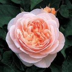 Sweet Juliet - David Austin Roses