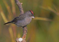 Tico-tico-rei-cinza (Pileated Finch) by Bertrando©, via Flickr