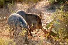 Javelina Beautiful Creatures, Animals Beautiful, Arizona Game And Fish, Sonora Desert, Desert Animals, Tucson Arizona, Wildlife Nature, Animals Of The World, Places To See