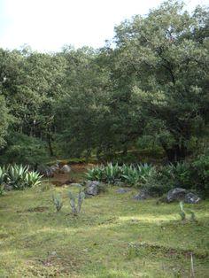"""... (encino azul), una especie que en estas zonas secas se comporta como caducifolio de verano. Bosque de Encinos en México. Bosque de """"encinos"""" en México."""