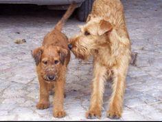 Two irish terriers