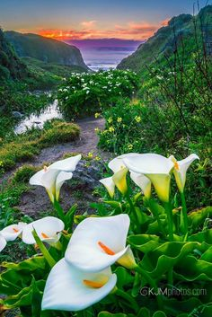 Spring at Calla Lily Valley in Garrapata State Park , Big Sur, California. - by Kerry Joy McGehee Photography Beautiful Nature Pictures, Beautiful Flowers Wallpapers, Nature Photos, Amazing Nature, Beautiful Landscapes, Beautiful Gardens, Types Of Flowers, Wild Flowers, Lily Pictures