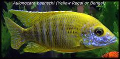 Aulonocara baenschi (Yellow Regal or Banga Cichlid)