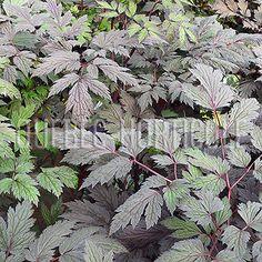 image de Actaea simplex (Cimicifuga simplex) Brunette Planting Flowers, Photos, Image, Cottage Gardens, Plants, Pictures, Photographs