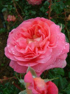 Christopher Marlowe (Ausjump) - David Austin English Roses
