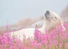 Dennis-Fast-Polar-Bear-6