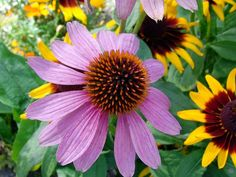 flower, pink, red, sun hat, echinacea, nature, plant