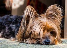 Cuidados del yorkshire terrier - Cosas que debes saber