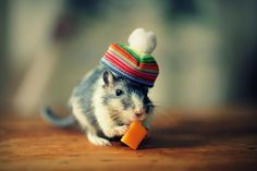 Gerbils in Hats (with cheese)