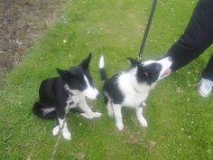 lassie and loki