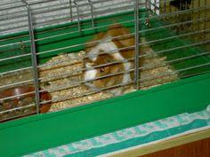 My guinea pig. She name is Honza