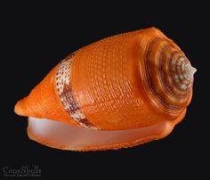 Conus coccineus GMELIN, 1791 Philippines, Bohol - 47.8 mm