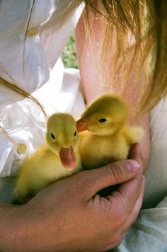 Two Hand-Held Ducklings.