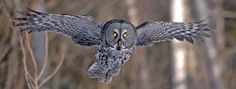 "The great gray owl (Strix nebulosa) is the largest owl in North America, standing more than 2 feet tall (0.6 meter) tall with a wingspan up to 5 feet (1.5 meters). But ""its great size is partly an illusion,"" the Audubon Society points out, thanks to a fluffy mass of feathers that envelop a much smaller body. Great gray owls are lighter than great horned or snowy owls, and they have relatively diminutive feet and talons."