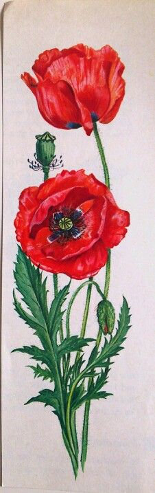 Drawing Flowers Watercolor Red Poppies 64 Ideas For 2019 Watercolor Red, Watercolor Illustration, Watercolor Flowers, Watercolor Paintings, Drawing Flowers, Botanical Drawings, Botanical Prints, Art Floral, Impressions Botaniques