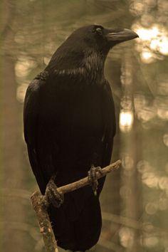 Raven, incredible birds!