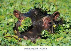 Hippopotamus amphibius - Google 検索