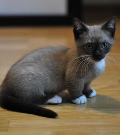 Photo : Un chat Munchkin, au long corps et aux pattes courtes