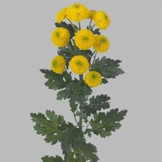Chrysanthemum Santini Paintball Sunny is a yellow variety of miniature santini chrysanthemum. All santini chrysanths are multi-headed, 55cm tall & wholesaled in 25 stem wraps. A superb flower with endless possibilities in floristry.