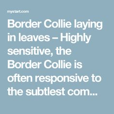 Border Collie laying in leaves – Highly sensitive, the Border Collie is often responsive to the subtlest command and seemingly able to predict his owner's desires in advance.