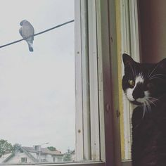 Breakfast maybe? #breakfast #window #cat #catandbird #toeatornottoeat #lovely #pigeon #catphoto