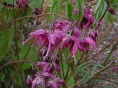 Image result for Epimedium grandiflorum 'Red Beauty'