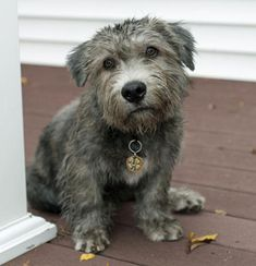 via the daily puppy  Puppy Breed: Glen of Imaal Terrier  Murphy is an Irish Glen of Imaal Terrier puppy. He was born in Albuquerque and now lives outside of Chicago. He loves eating raw bones, chunks of sod, potted plants, bully sticks and his housemate cats' food whenever clever enough to get at their bowls. He loves long walks into town, especially when the destination is Bently's Corner Barkery.