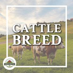 Over 800 breeds of cattle are recognized worldwide, some of which adapted to the local climate! Cattle farming, Cattle ranching, Cattle photography, Cattle barn, raising Cattle, Cattle breeds, Cattle ideas, Cattle feeding, Cattle herding, Cattle shelter, Cattle equipment, cute Cattle, Cattle tips, baby Cattle, Cattle house, Cattle grazing, Cattle pasture, Cattle yards.